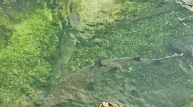 Weißspitzenhaie