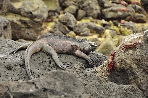 Iguana Marina und Krabben