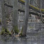 Überschwemmung im Darßer Urwald