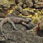 Iguana trifft Krabben