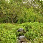 Wildlebende Landschildkröten im Hochland von Santa Cruz