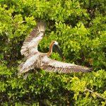 Pelikan im Landeanflug