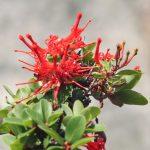 Blüten des Feuerbuschs