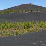 Leuchtende grüne Pinien auf der schwarzen Erde des Volcán Martín