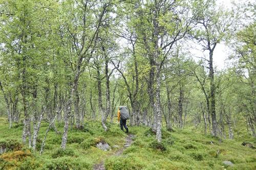 Es geht durch den Birkenwald