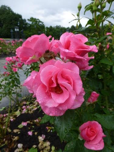 Rosen im Frognerpark