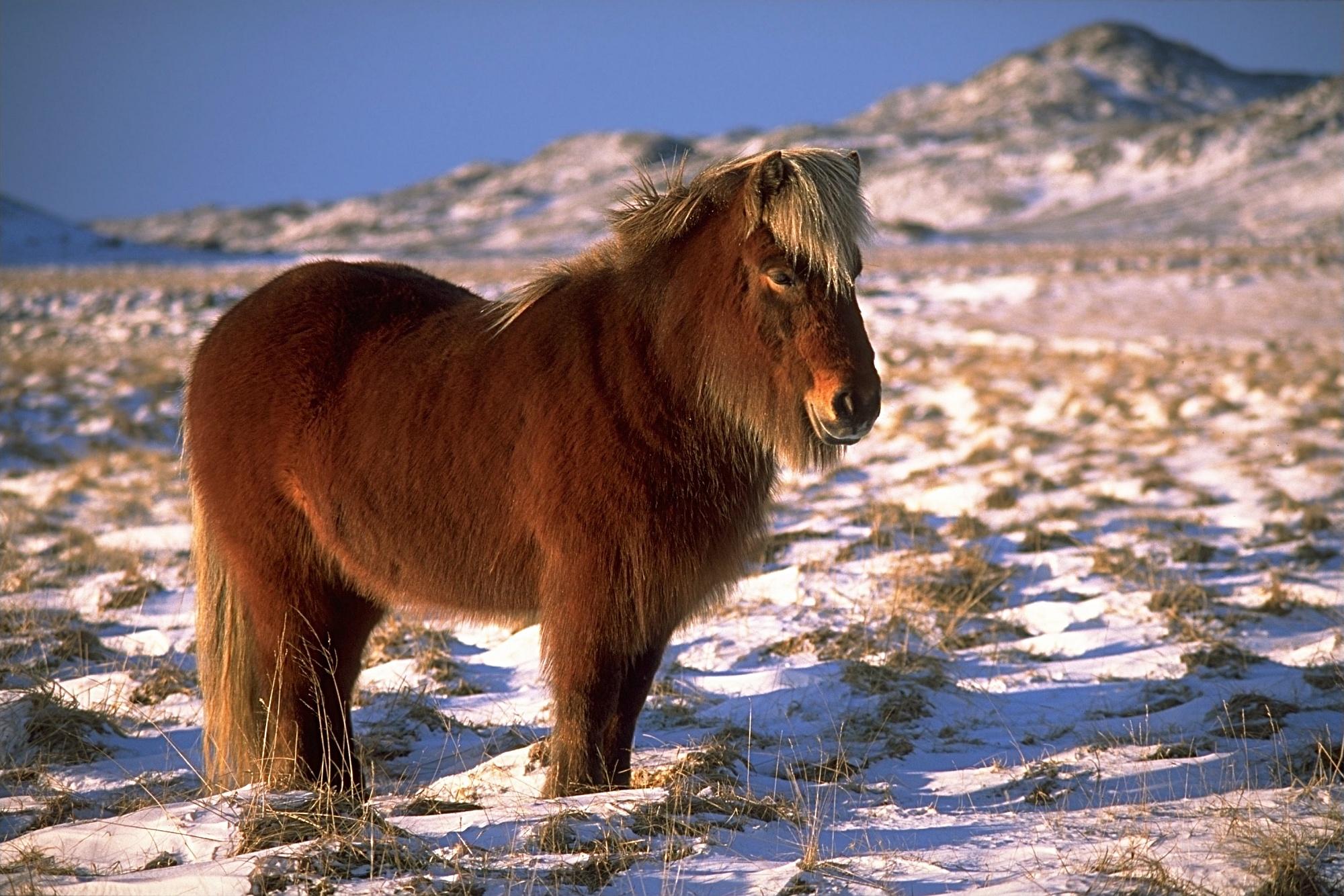 Icelandic Horse In Winter (Wikipedia)