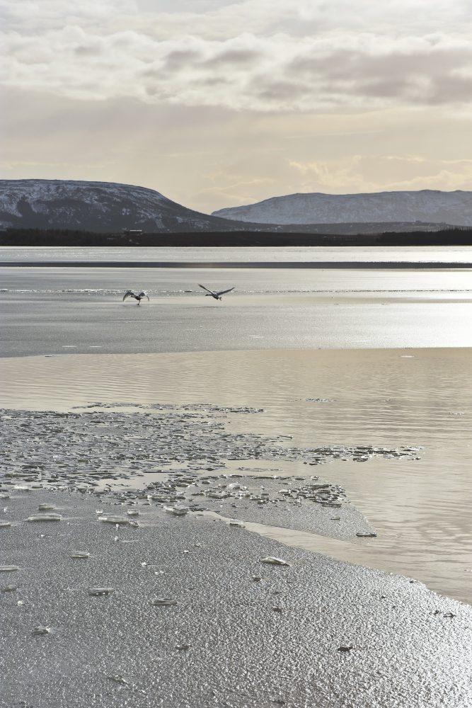 Schwäne auf dem Laugarvatn