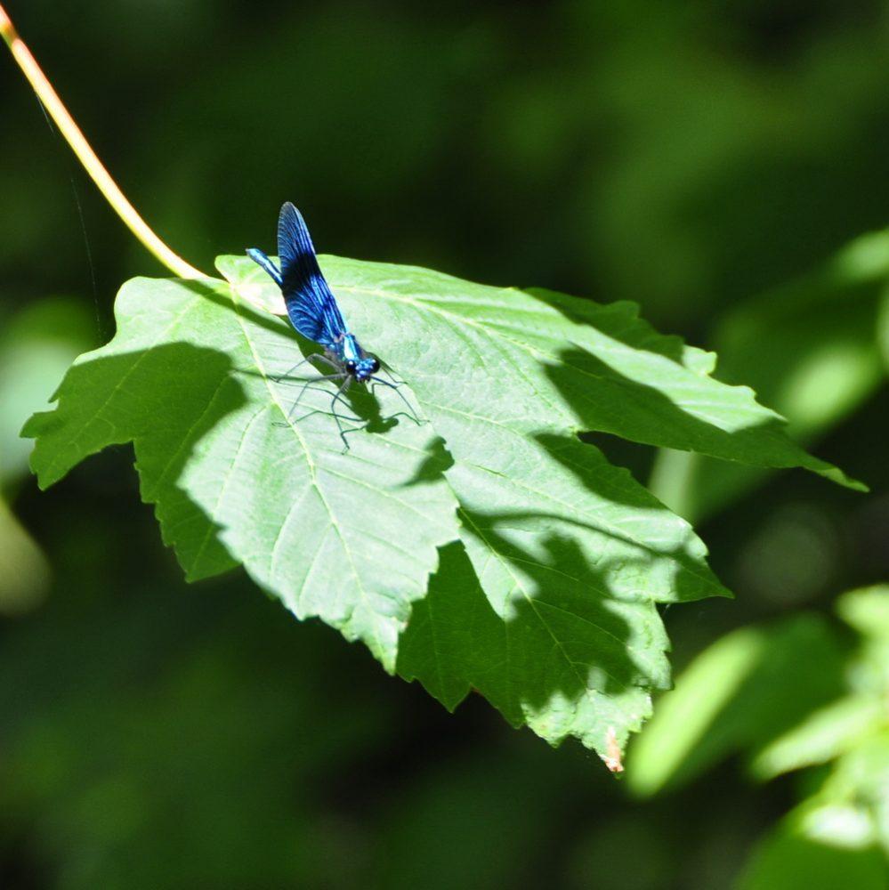 Die Pflanzen im Hintergrund verschwimmen in Unschärfe. Der Blick wird auf das Blatt und die Libelle im Vordergrund gelenkt